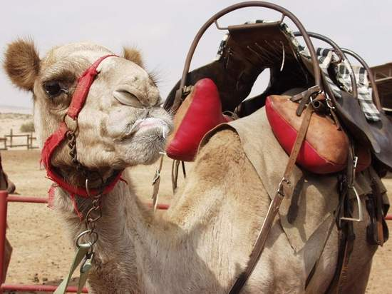 Camel closeup - domesticated camel by the Dead Sea