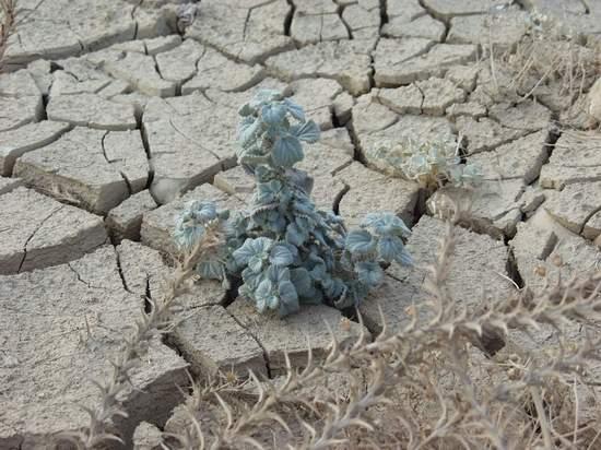 Plant in Dry Salty Soil
