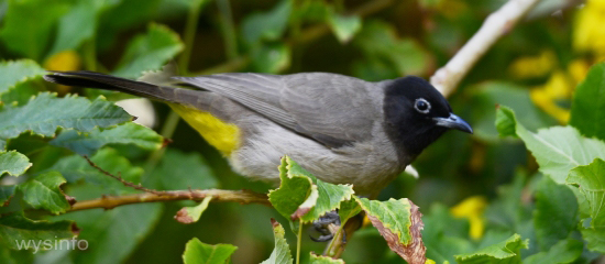 Bulbul - Indigenous to the Dead Sea Region