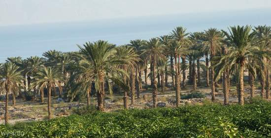 Ein Gedi Vegetation beside the Dead Sea