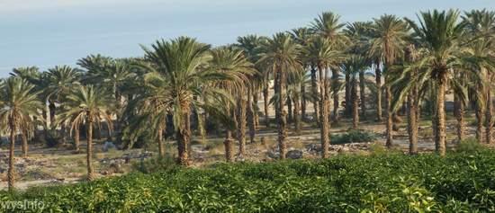 Ein Gedi Groves beside the Dead Sea