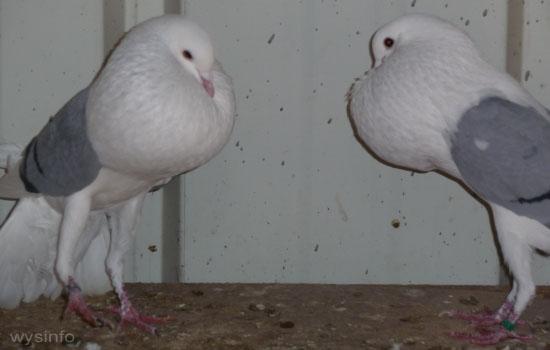 Voorburg Cropper Pigeon