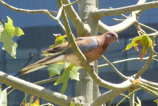 Lauging Dove