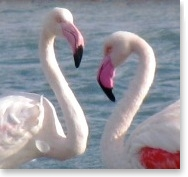 Flamingos in Eilat