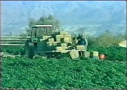 Agriculture in Neot HaKikar - South of the Dead Sea