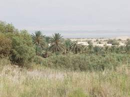 Various Fruit Trees and Wild Vegetation by Dead Sea